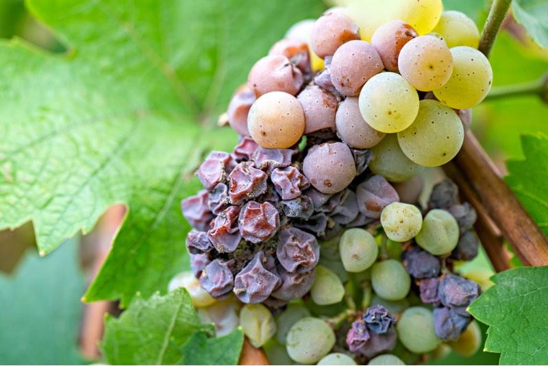 Nano-pesticida para fungo de uva da Agrosavfe